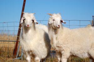 Glückliche Schafe in der Fair Fashion
