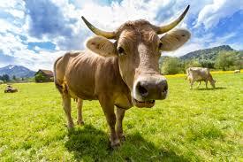 Kuhhaltung nach Demeter